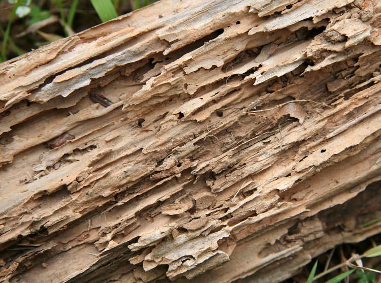 Carpenter Ants On Vancouver Island