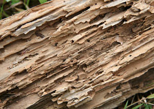 Termite-damaged wood showing rotting galleries outside of a North Sannich home